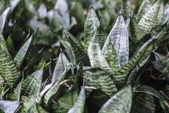 Sansevieria trifasciata or Snake plant in the garden. For design work royalty free stock photo