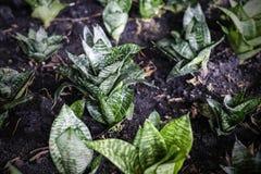 Sansevieria trifasciata or Snake plant in the garden. For design work stock photography