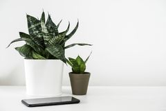 Sansevieria trifasciata or Snake plant in pot and mobile phone. On the white wooden table home decor royalty free stock photo