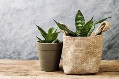 Sansevieria trifasciata or Snake plant in pot on old wood. Home and garden concept royalty free stock photos