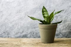 Sansevieria trifasciata or Snake plant in pot on old wood. Home and garden concept royalty free stock image
