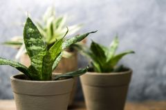 Sansevieria trifasciata or Snake plant in pot on old wood. Home and garden concept stock images