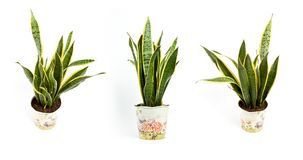 Sansevieria trifasciata or Snake plant in pot on a white backgro. Interior decoration. Sansevieria trifasciata or Snake plant in pot on a white background royalty free stock images