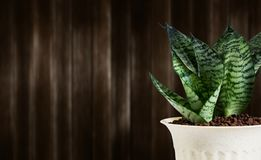 Sansevieria trifasciata or Snake plant in pot on wood background. With copy space royalty free stock image