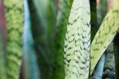 Sansevieriaträd Arkivfoto