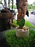 Sansevieriatrifasciata eller ormväxt i kruka hemma Grön suckulent växt i keramisk kopp i cafeterian fotografering för bildbyråer