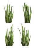 Sansevieriatrifasciataväxt (ormväxten) Arkivbild