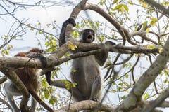 Sansibar-Insel-Affe Stockfotos