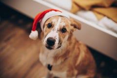 santa καπέλων σκυλιών Χαρούμενα Χριστούγεννα και έννοια καλής χρονιάς SP Στοκ εικόνες με δικαίωμα ελεύθερης χρήσης