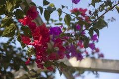 Santa Ρίτα ή στενός επάνω περγκολών Bougainvillea Στοκ Φωτογραφίες