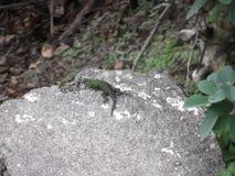 Santa Ana Lizard Imágenes de archivo libres de regalías