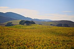 Santa Barbara California wine country. Autumn colored grapevine leaves on rolling hills in wine country Santa Barbara County California royalty free stock images