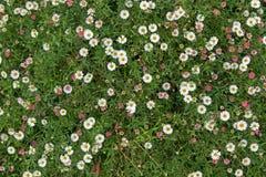 Santa Barbara daisy, Spanish daisy flowers in white, pink growin Stock Photo