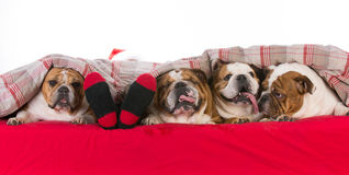 Santa in a bed full of dogs Stock Photos
