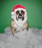 Santa Bulldog Stock Image