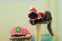Santa Cat On Condo Cats preta imagens de stock royalty free