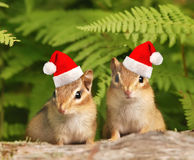 Santa chipmunks Royalty Free Stock Photos