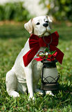 Santa Christmas dog. Series of dog photos with santa bows Royalty Free Stock Photo
