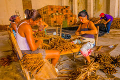 SANTA CLARA, CUBA - SEPTEMBER 08, 2015: Handmade cigar preparation of tobacco leaves royalty free stock photo