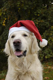 Santa Claus. Beautiful dog Golden Retriever like a Santa Claus dog stock images