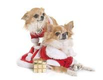 Santa claus chihuahuas Stock Photography