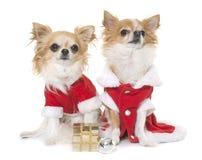 Santa claus chihuahuas Stock Photo