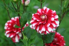 Santa Claus dahlias bloom in summer garden. Peppermint-striped decorative dahlia flowers contrast lush green foliage and dark stems. These plants grow from stock image