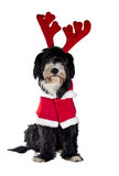 Santa claus dog. A sweet assistant of Santa Claus Stock Photo
