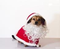 Santa claus dog. A sweet assistant of Santa Claus Royalty Free Stock Photo