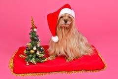 Santa Claus Dog With Christmas Tree Stock Photo