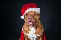 Santa claus Gnom, karzeł, leprechaun Pies, pit bull w ubraniach Święty Mikołaj Zdjęcia Stock