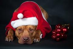 Santa claus Gnom, karzeł, leprechaun Pies, pit bull w ubraniach Święty Mikołaj Obrazy Royalty Free