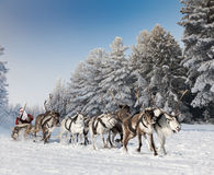 Santa Claus and his reindeer in forest. Santa Claus riding in sleigh and driving his harness of reindeer in the fairy winter forest Stock Image