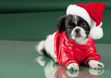 Santa Clous - hond Stock Fotografie