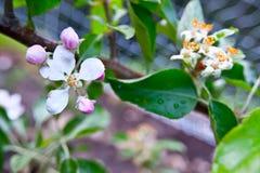 Santa Cruz California-Gebirgsapfelbaum Obstgarten stockbilder
