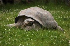 Santa Cruz Galapagos giant tortoise (Chelonoidis nigra porteri).  royalty free stock photos