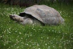 Santa Cruz Galapagos giant tortoise (Chelonoidis nigra porteri).  stock photos