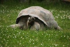 Santa Cruz Galapagos giant tortoise (Chelonoidis nigra porteri).  royalty free stock image