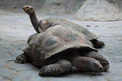 Santa Cruz Galapagos giant tortoise (Chelonoidis nigra porteri). Royalty Free Stock Photography