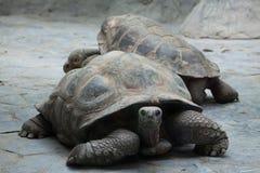 Santa Cruz Galapagos gigantyczny tortoise (Chelonoidis nigra porteri) Zdjęcie Stock