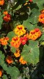 Santa Cruz kwiaty Zdjęcia Royalty Free