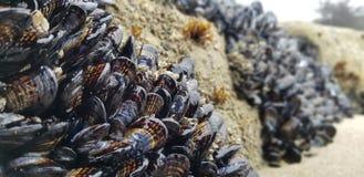 Santa Cruz morning clams royalty free stock photo