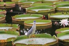Santa Cruz waterlily florece y pájaro Imagen de archivo libre de regalías