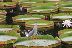 Santa Cruz waterlily flowers and bird Royalty Free Stock Image