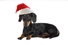 Santa Dachshund Dog Fotos de Stock