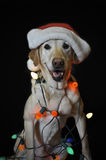 Santa dog. Holiday dog,sitting down wrapped in christmas lights wearing a red christmas santa hat, isolated on a black background Stock Photography
