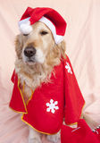 Santa dog. Dog dressed as Santa Claus with Christmas gifts Stock Photography