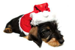 Santa dog Stock Images