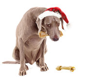 Santa dog with bone Stock Images