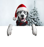 Santa dog with  christmas ball on paw and a bell Stock Photo